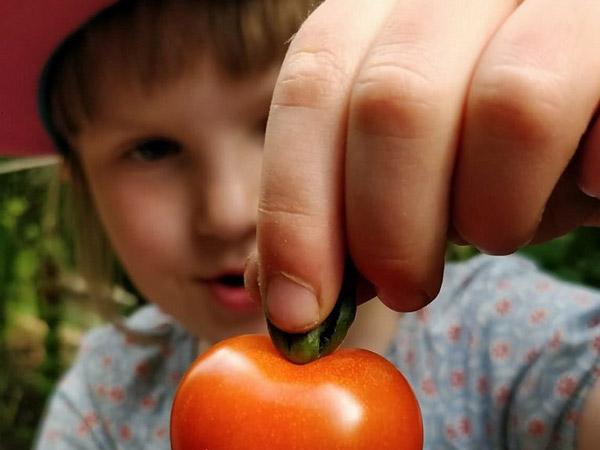 Nu har vi plockat den första tomaten!