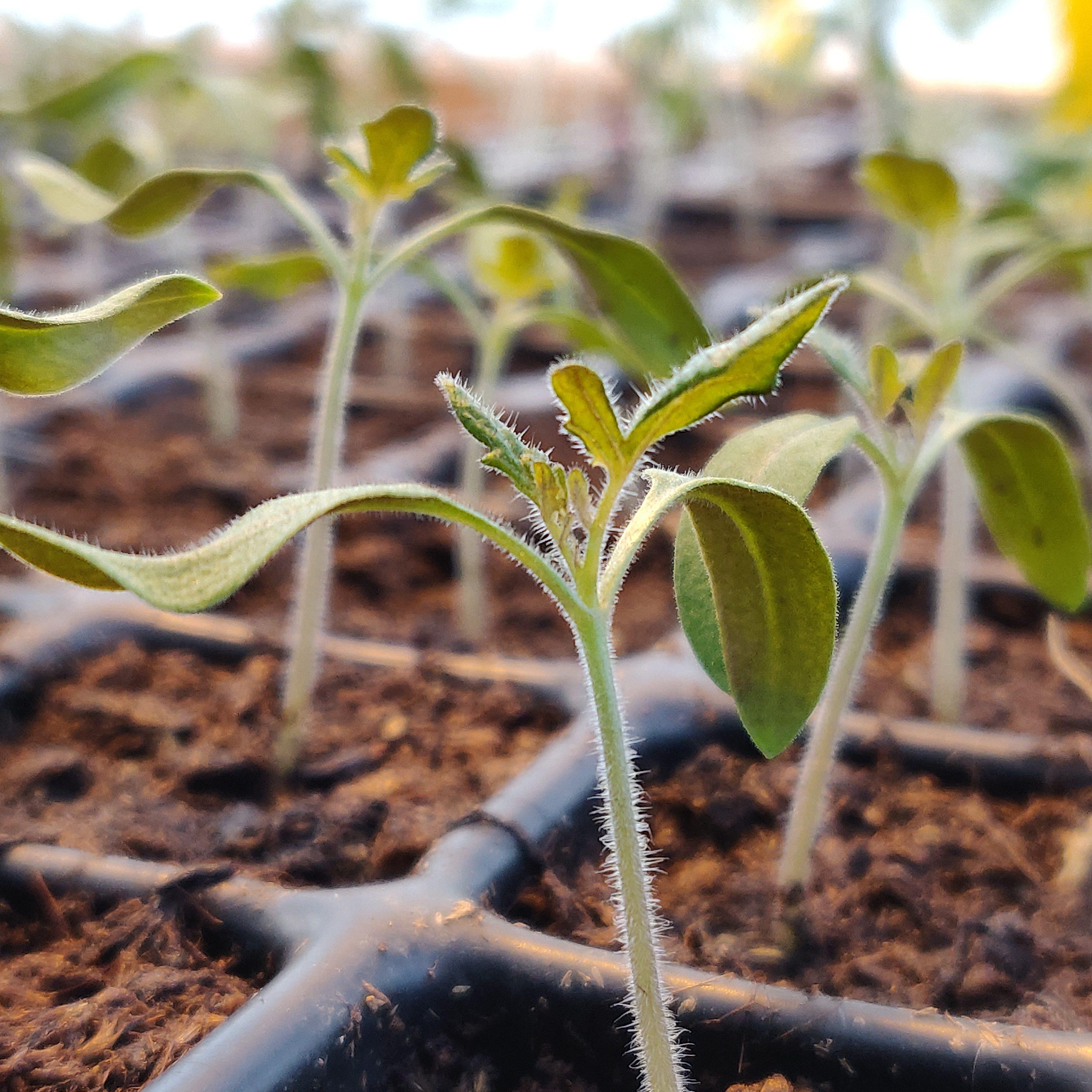 Hållbar grönsaksodling i Mälardalen