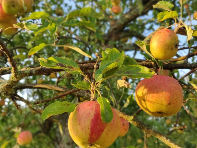 Äpplen på Hornudden – då – nu och sen?